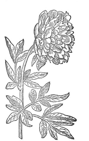 Double red peony- colouring page