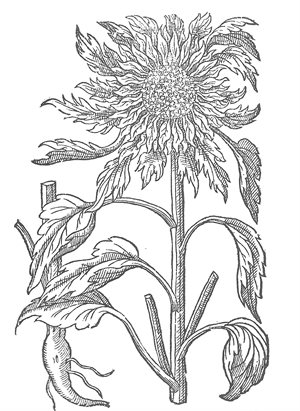 Lesser Sunflower- colouring page