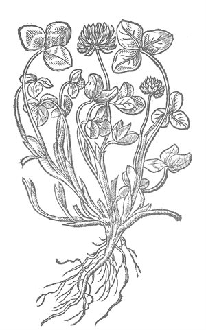 Meadow Trefoil- colouring page