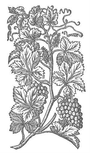 Vine- colouring page
