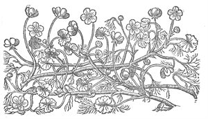 Water Crowfoot- colouring page